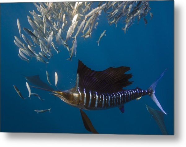 Atlantic Sailfish Istiophorus Albicans Metal Print