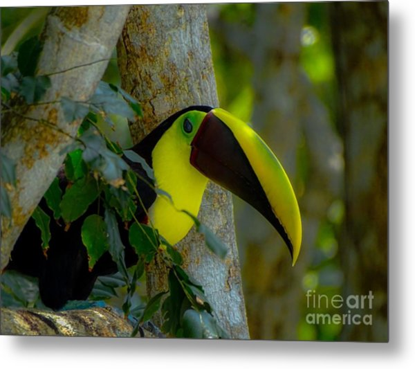 Chestnut-mandibled Toucan Metal Print