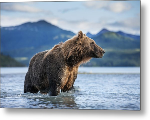 Coastal Brown Bear  Ursus Arctos Metal Print