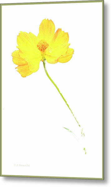 Cosmos Flower Metal Print