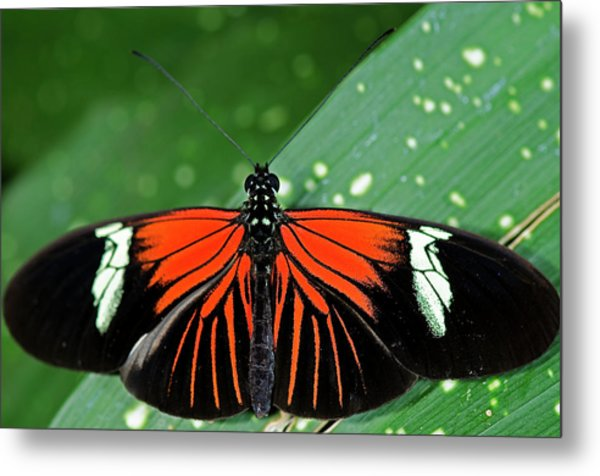 Doris Longwing Butterfly Metal Print