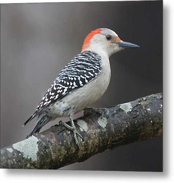 Female Red-bellied Woodpecker Metal Print