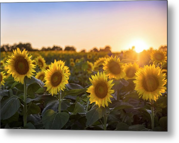 Sunflower Sunset Metal Print