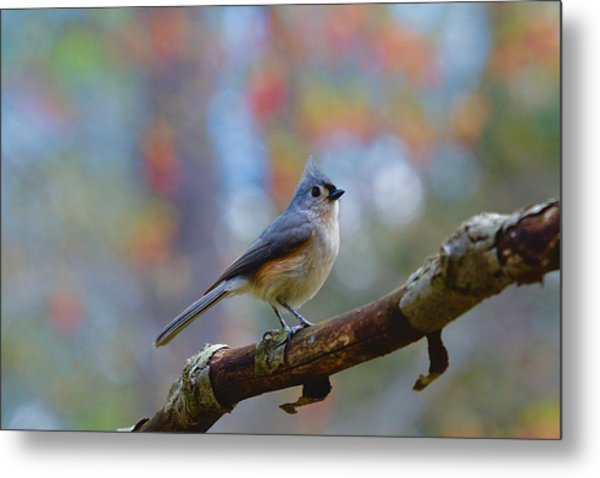 Metal Print featuring the photograph Tufted Titmouse by Robert L Jackson