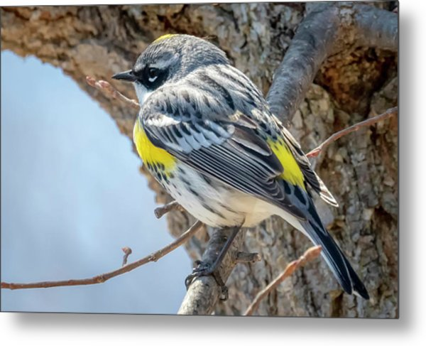 Yellow-rumped Warbler Metal Print