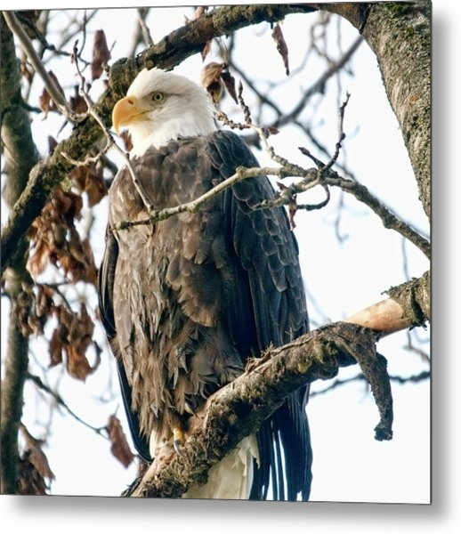 Eagle In A Tree Metal Print by Clarence Alford