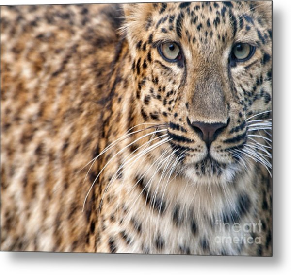 Leopard Metal Print by White Stork Gallery