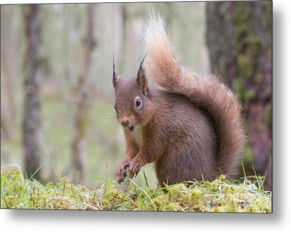 Red Squirrel - Scottish Highlands #8 Metal Print
