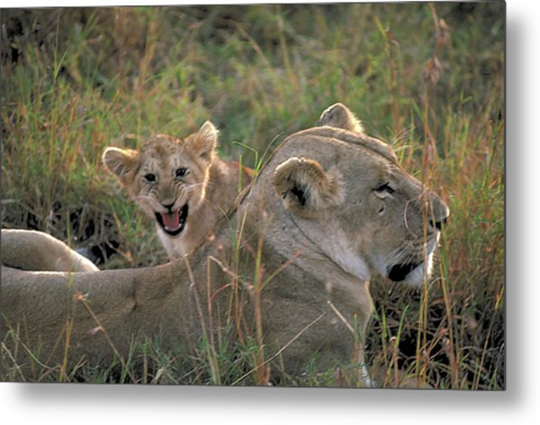 Angry Lion Cub Metal Print by Carl Purcell