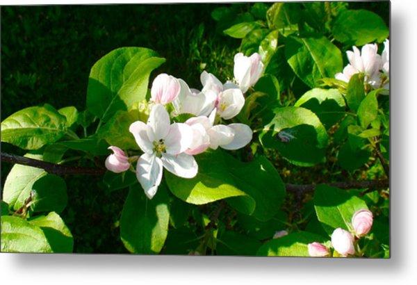 Apple Blossoms Metal Print