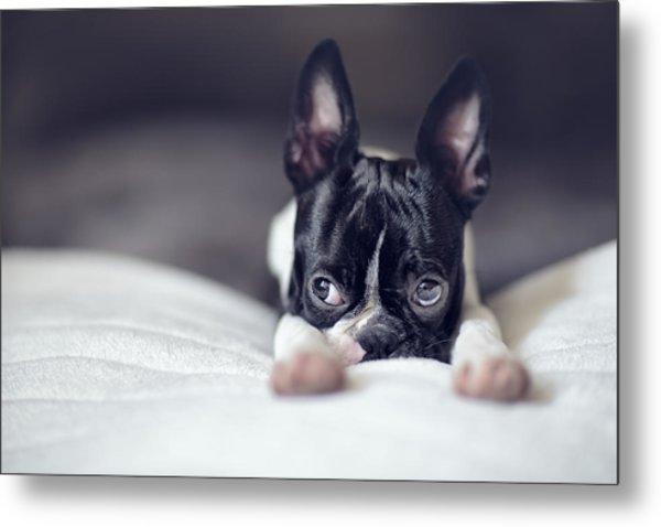 Boston Terrier Puppy Metal Print