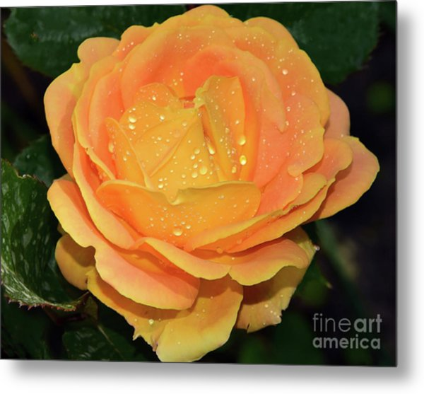 Beautiful Rose Metal Print