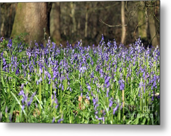 Bluebells At Banstead Wood Surrey Uk Metal Print