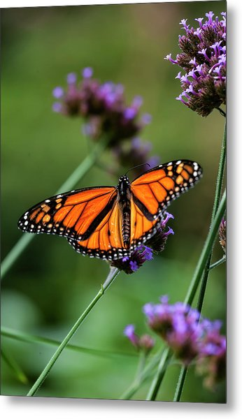 Monarch Butterfly Metal Print by Robert Ullmann