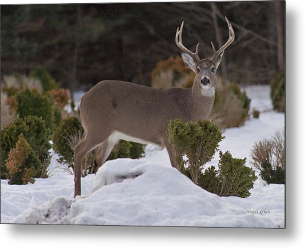 Metal Print featuring the photograph 8 Point Beauty by Angel Cher