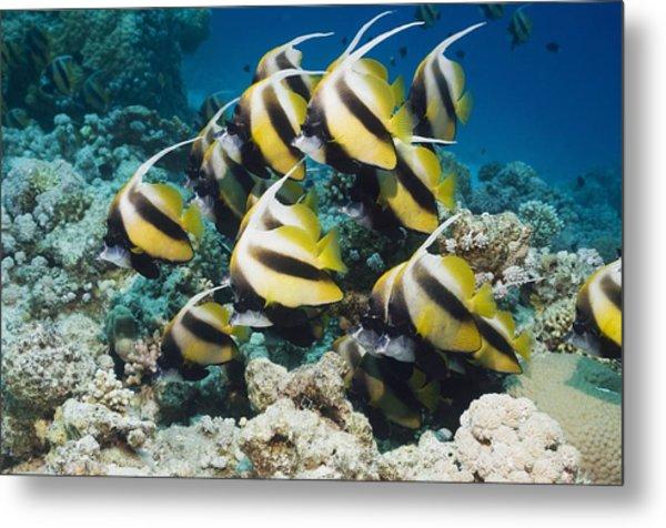 Red Sea Bannerfish Metal Print by Georgette Douwma