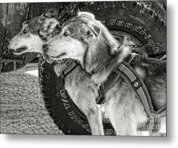 Sled Dog Races Metal Print