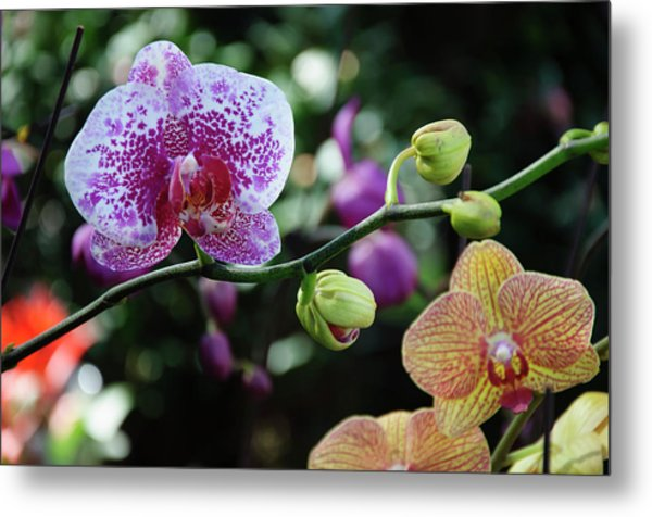 Butterfly Orchid Flowers Metal Print