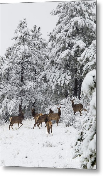 Elk In Deep Snow In The Pike National Forest Metal Print