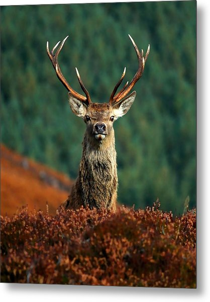 Red Deer Stag Metal Print