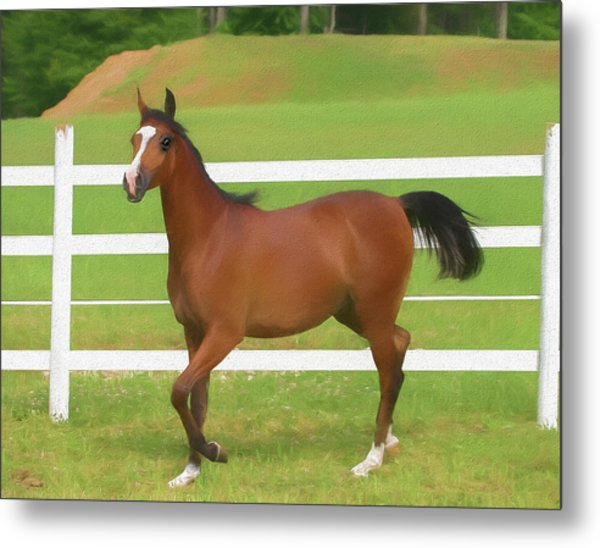 A Beautiful Arabian Filly In The Pasture. Metal Print