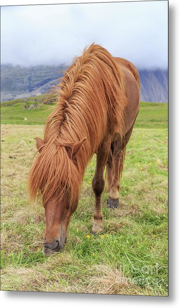 A Beautiful Red Mane On An Icelandic Horse Metal Print