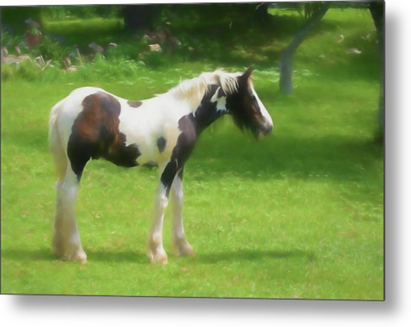 A Beautiful Young Gypsy Vanner Standing In The Pasture Metal Print