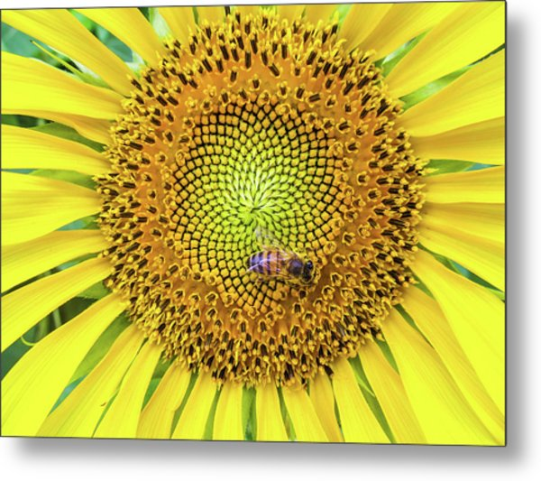 A Bee On A Sunflower Metal Print