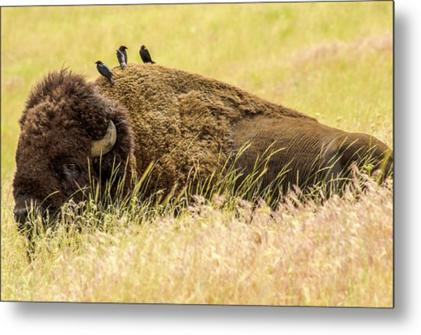 A Bison And The Freeloaders Metal Print