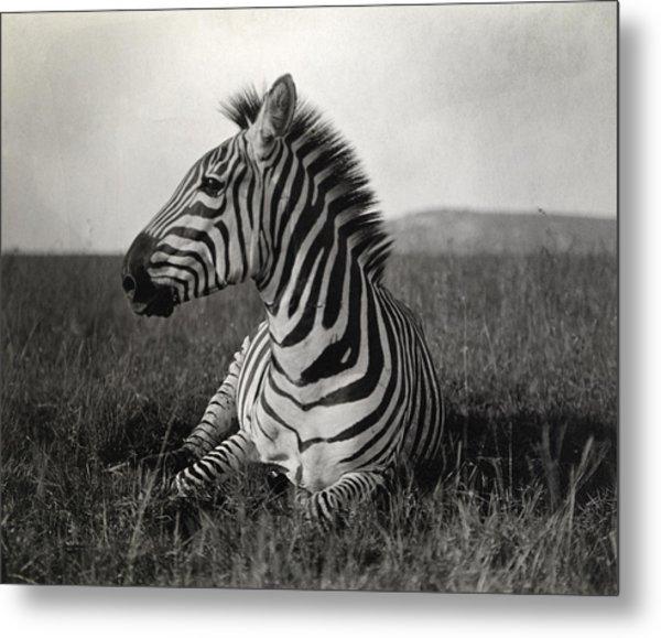 A Burchells Zebra At Rest Metal Print
