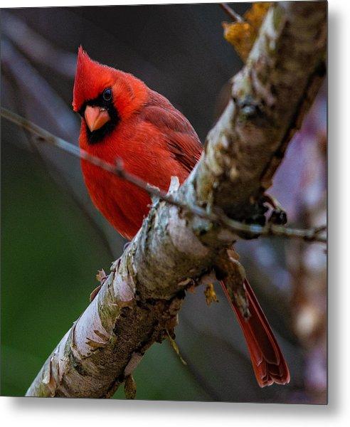 A Cardinal In Spring   Metal Print
