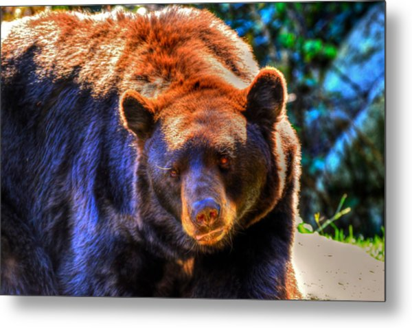 A Curious Black Bear Metal Print