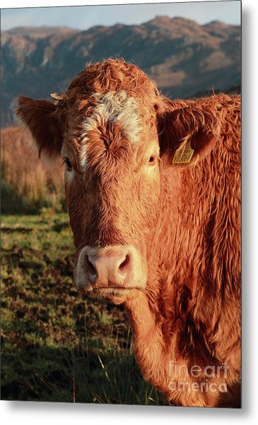 A Curious Red Cow Metal Print