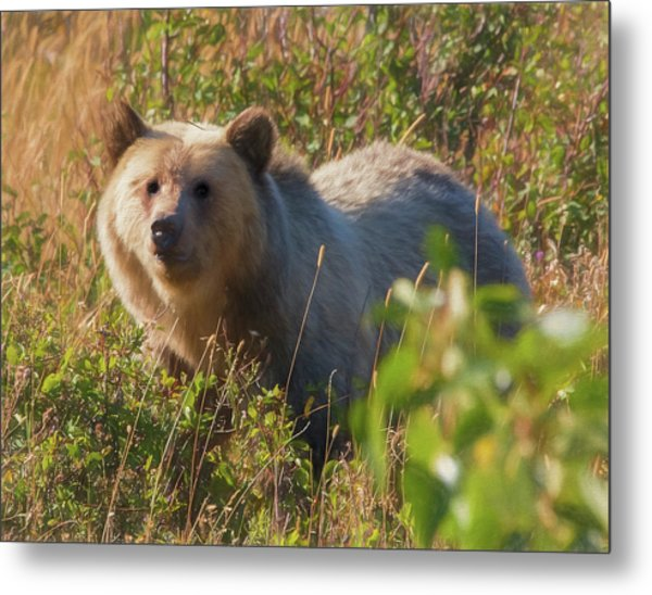 A  Female Grizzly Bear Looking Alertly At The Camera. Metal Print