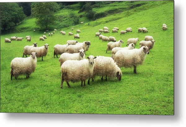 A Flock Of Sheep Metal Print