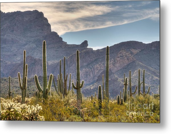 A Forest Of Saguaro Cacti Metal Print