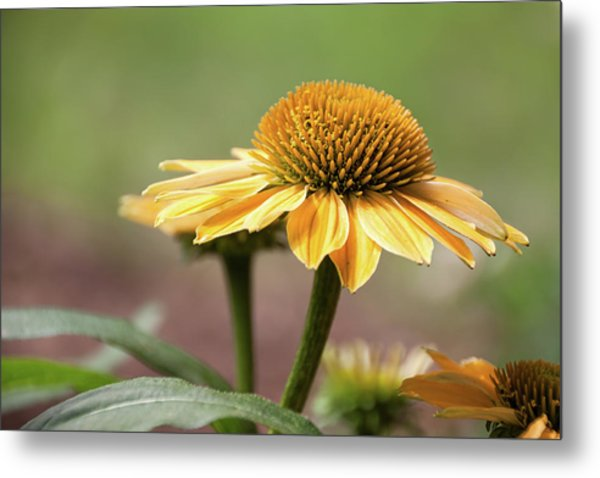 A Golden Echinacea -  Metal Print