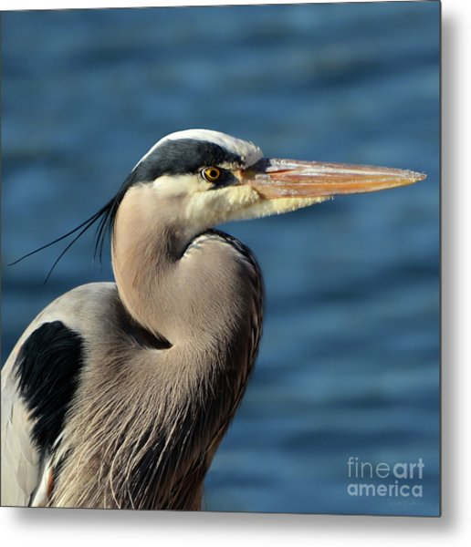 A Great Blue Heron Posing Metal Print