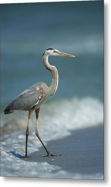 A Great Blue Heron Walks In The Sand Metal Print