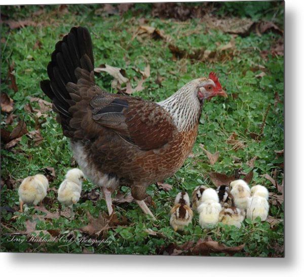 A Hen And Her Chicks Metal Print