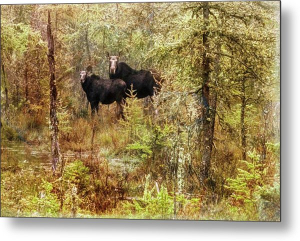A Mother And Calf Moose. Metal Print