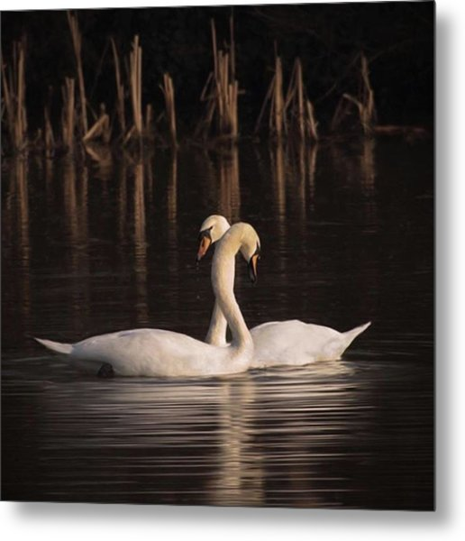A Painting Of A Pair Of Mute Swans Metal Print