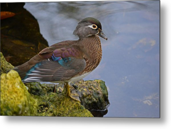 A Pretty Female Painted Wood Duck Metal Print