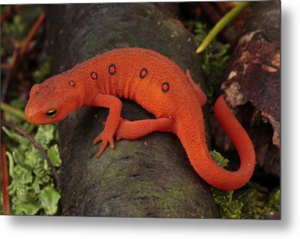 A Red Eft Crawls On The Forest Floor Metal Print