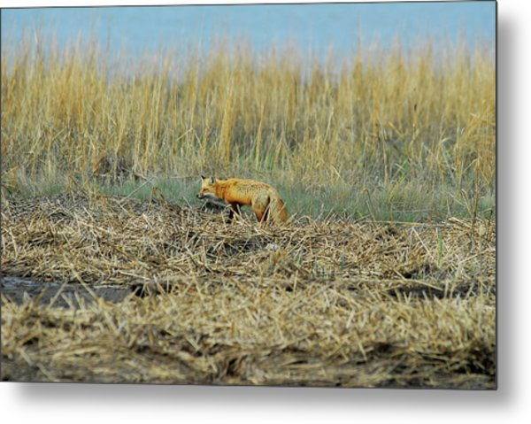 A Red Fox Hunting Metal Print