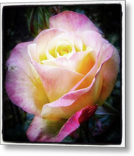Metal Print featuring the photograph A Rose Is A Rose Is A Rose, Variation by Mr Photojimsf