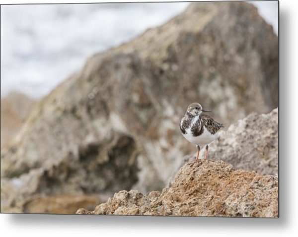 A Ruddy Turnstone Perched On The Rocks Metal Print
