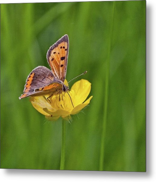 A Small Copper Butterfly (lycaena Metal Print
