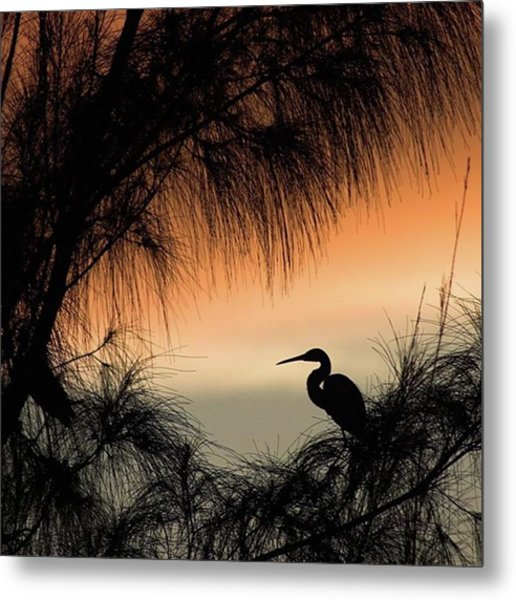 A Snowy Egret (egretta Thula) Settling Metal Print