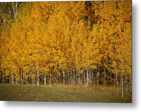 A Stand Of Aspen Metal Print